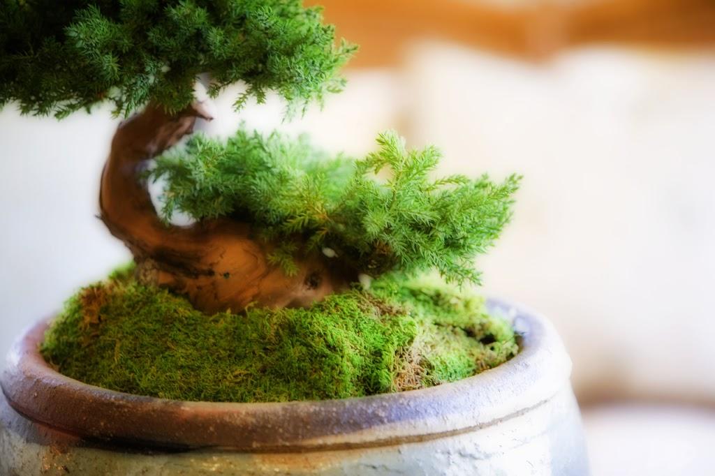 Enhance Your Green Thumb With Bonsai 101 Rural Mom