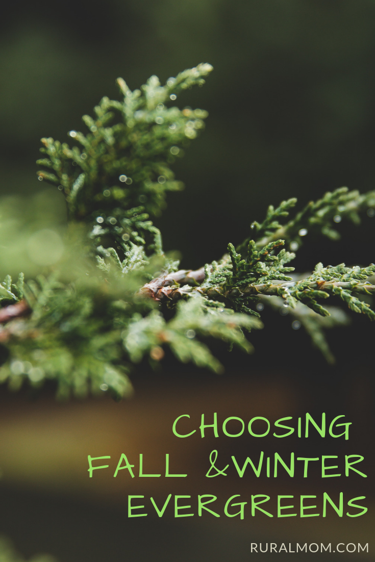 Choosing Fall and Winter Evergreen Shrubs and Trees