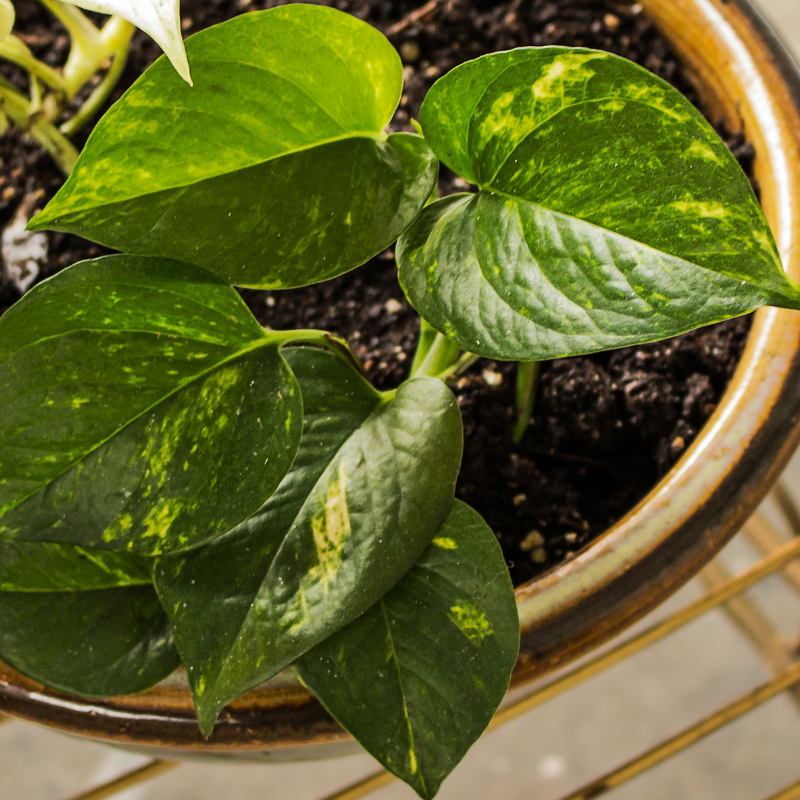 Indoor Plants Grown In Water: 10 Houseplants You Don't Need To Water Rural Mom