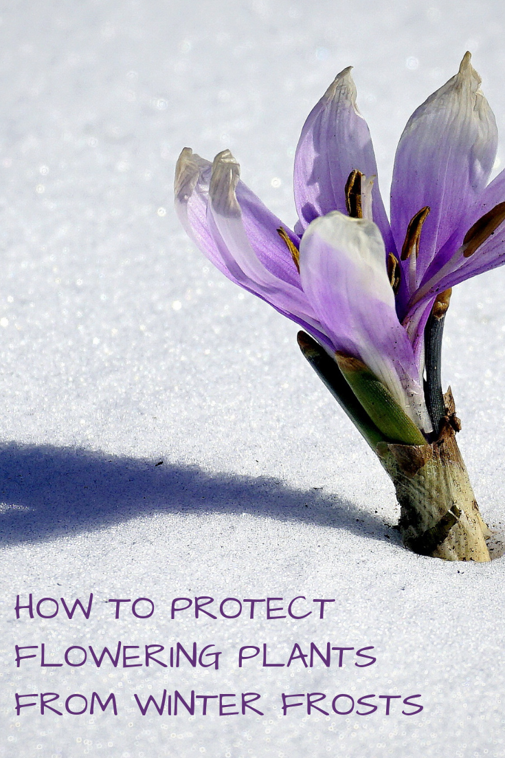 How to Protect Flowering Plants from Winter Frosts