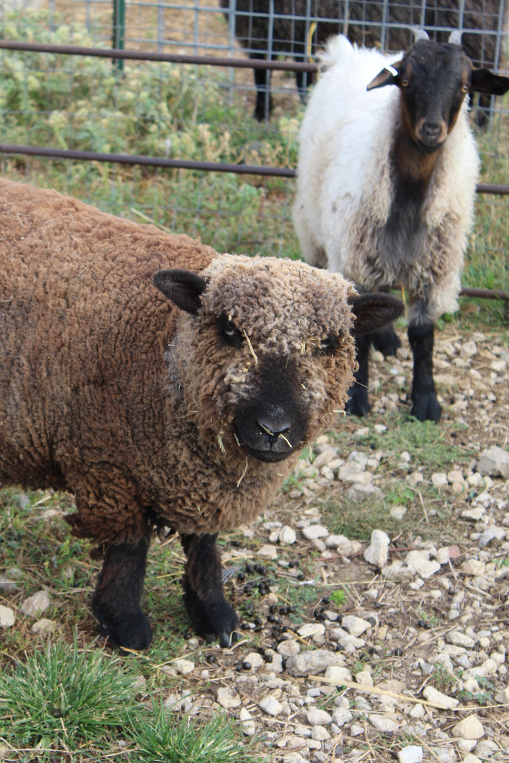 From Pygora Goats to Yarn, Spinning Fibers with Rowantree Farm