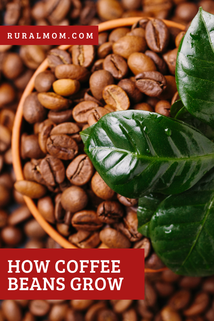 How Coffee Beans Grow