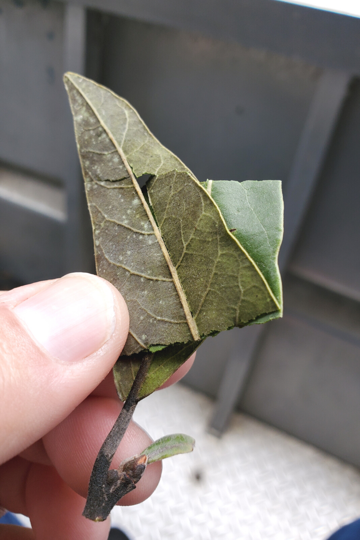 Steep This! Health Benefits of Bay Leaf