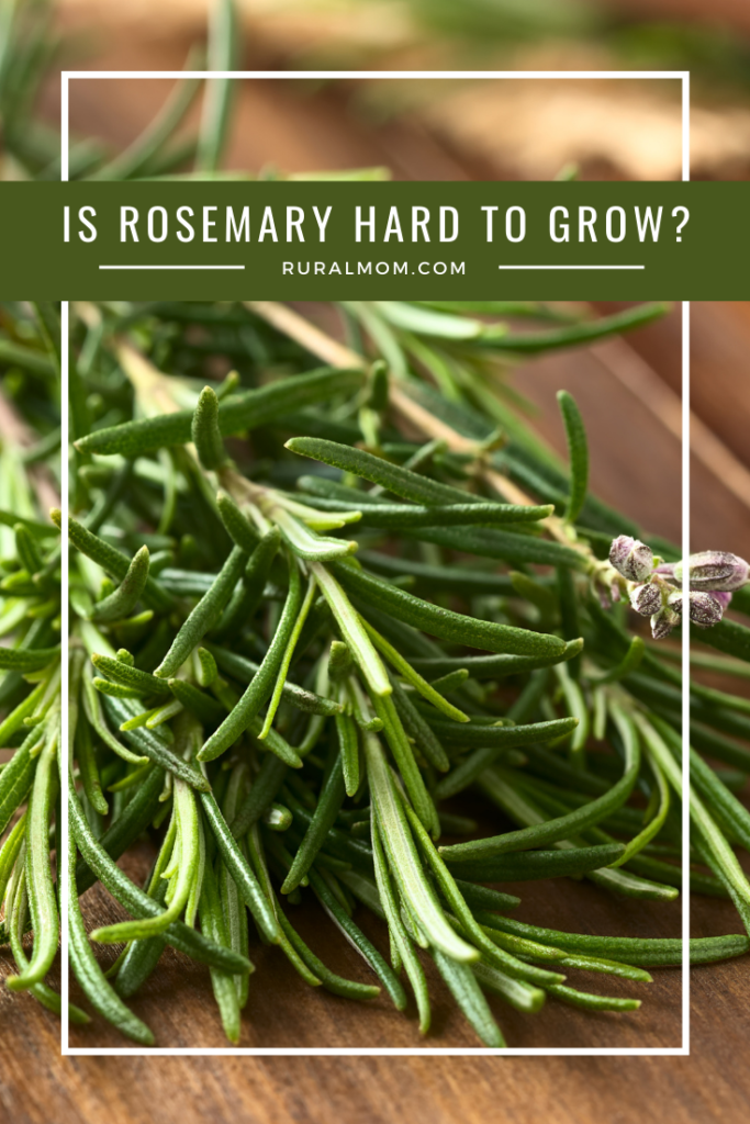 Is Rosemary Hard to Grow?