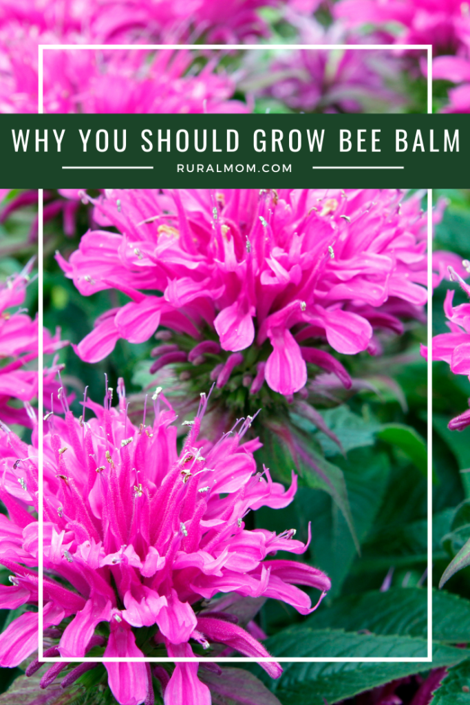 Why You Should Grow Bee Balm