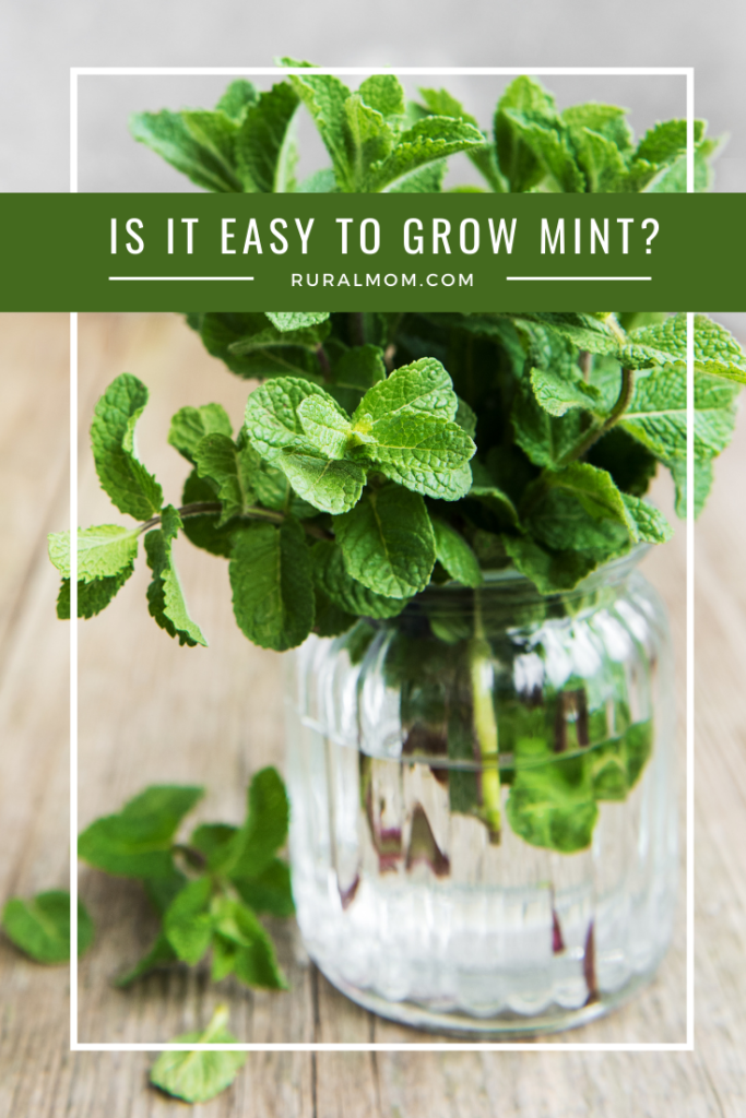 Is It Easy To Grow Mint?