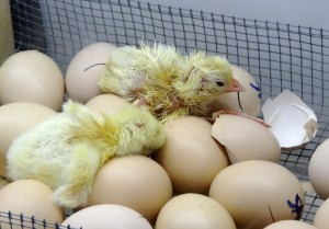 Baby chicks at the Kentucky State Fair