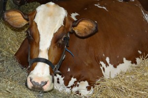 Cow resting at the Kentucky State Fair