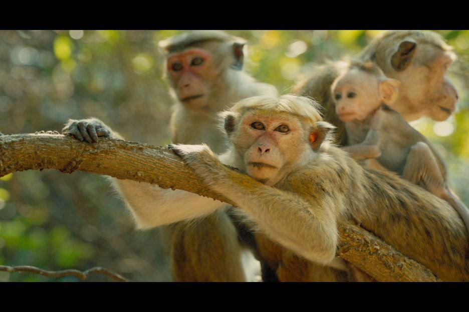 Disneynature's MONKEY KINGDOM Educators Guide #MonkeyKingdom