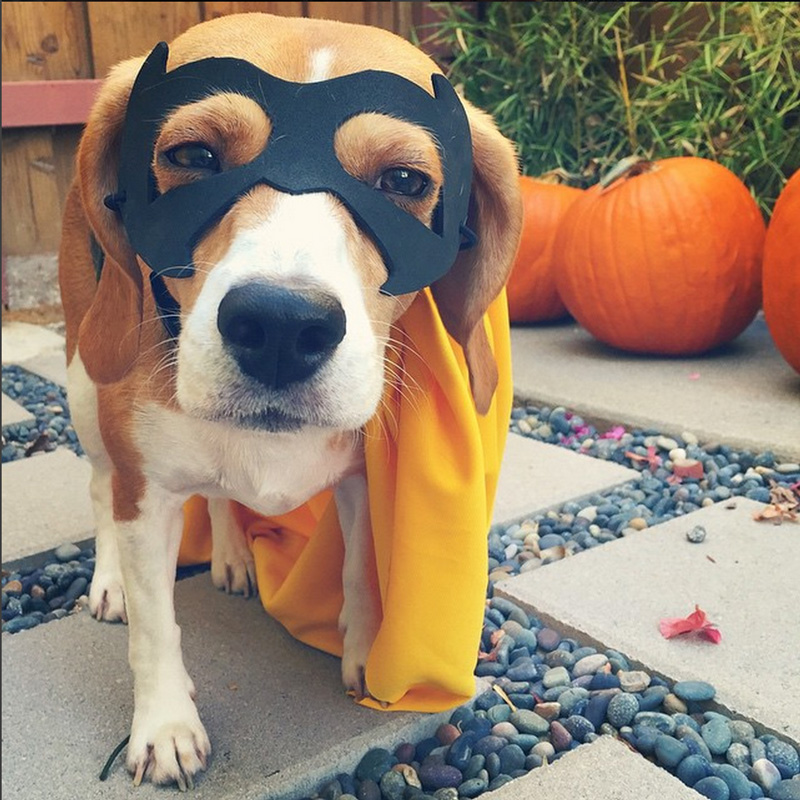Halloween Hounds get in on the fun: Milk-Bone study shows dogs are ultimate trick-or-treaters! lilo-kris_last_name_unknown-_itslilothebeagle