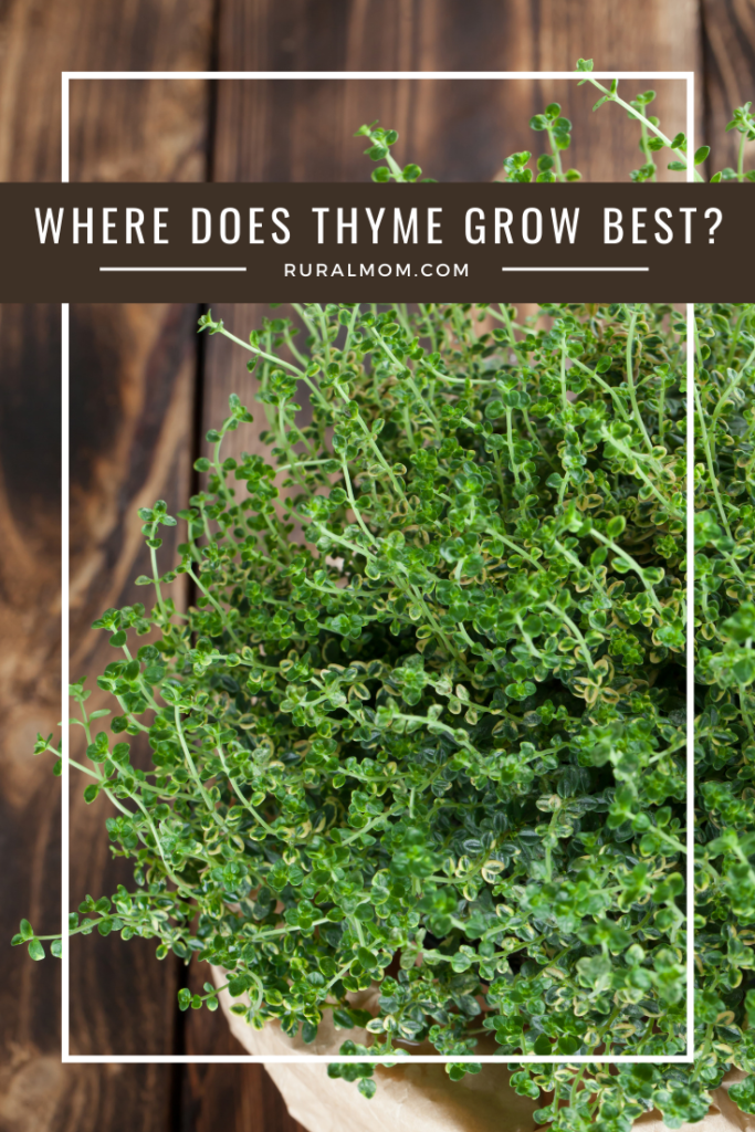 Where Does Thyme Grow Best?