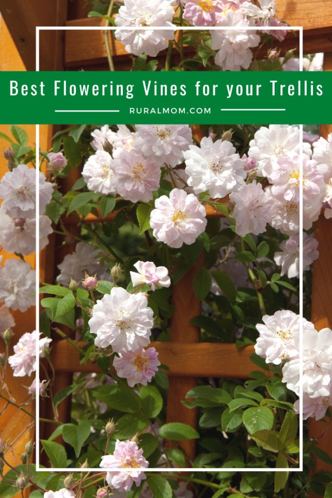 What are the best flowering vines for your trellis?